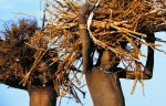 Dinka Children Carrying Firewood, South Sudan