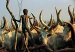 Dinka Child Climbing Among Horns, South Sudan