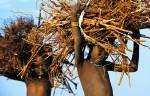Dinka Children Carrying Firewood, South Sudan